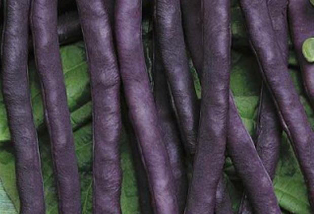 Сорт фасоли: Румба