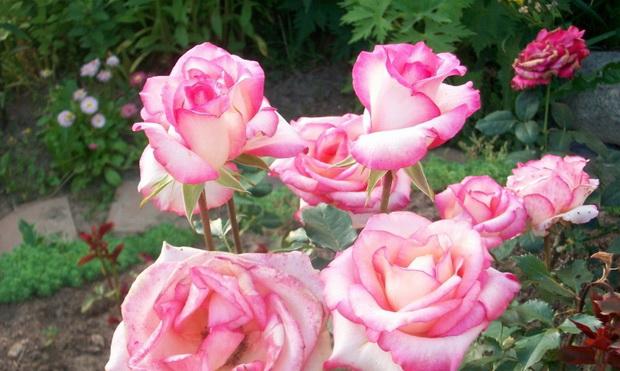 Сорт розы: Русская красавица