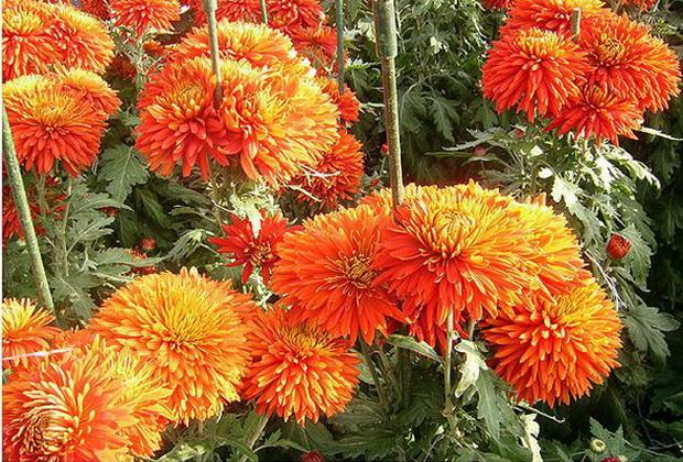 Сорт хризантемы: Рябинка