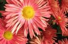 Сорт хризантемы: Шиханы башкирии