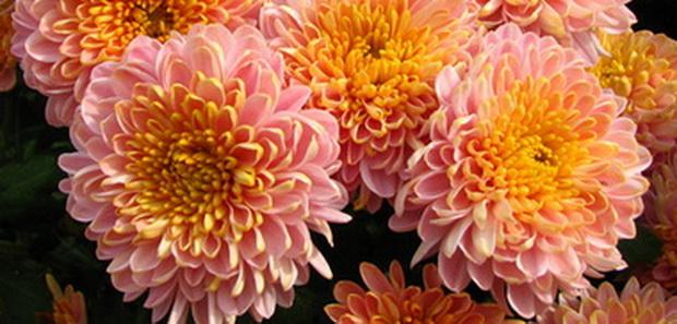 Сорт хризантемы: Сакмара