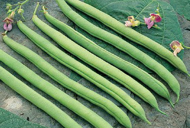 Сорт фасоли: Серенгети