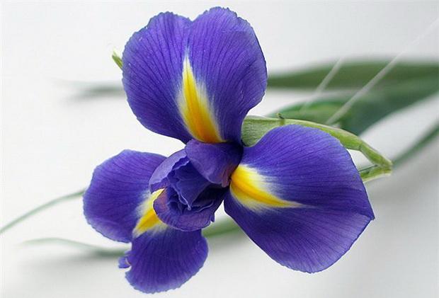 Сорт ириса: Синий внииссока