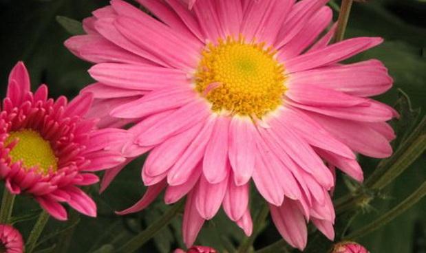 Сорт хризантемы: Сиреневый туман