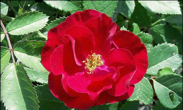 Сорт розы: Сириус