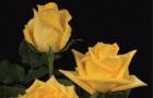 Сорт розы: Смарагд