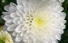 Сорт хризантемы: Снежана