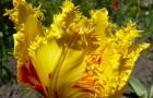 Сорт тюльпана: Солнышко