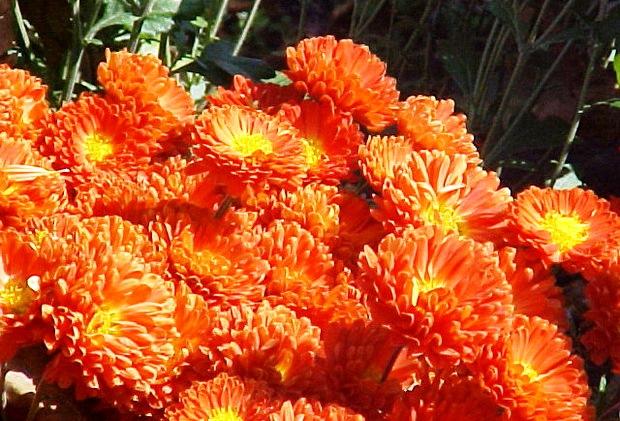 Сорт хризантемы: Хамелеон