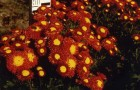 Сорт хризантемы: Сударушка