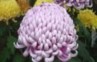 Сорт хризантемы: Царица тамара