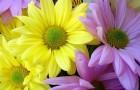 Сорт хризантемы: Татьяна