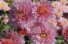 Сорт хризантемы: Татьянин день