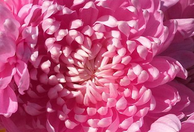 Сорт хризантемы: Тайфун