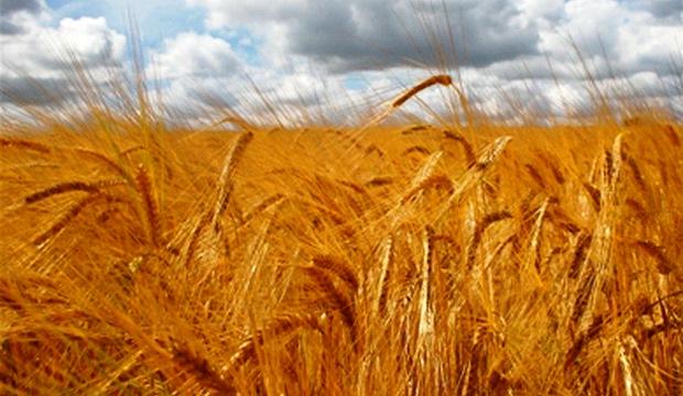 Урожайность сельскохозяйственных культур растет на 1% в год