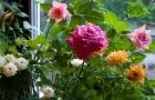 Сорт розы: Уссурочка