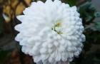 Сорт хризантемы: Василина
