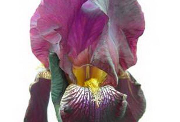Сорт ириса: Виолетта