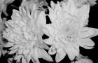 Сорт хризантемы: Волны агидели