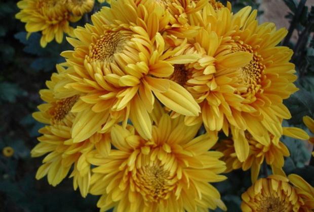 Сорт хризантемы: Янтарная
