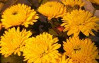 Сорт хризантемы: Ярославна