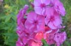 Сорт флокса метельчатого: Юннат