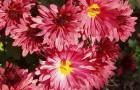 Сорт хризантемы: Южная