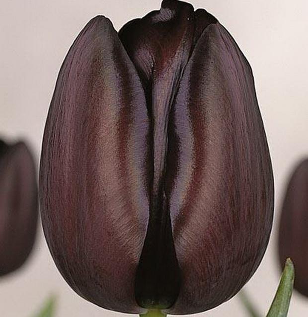 Сорт тюльпана: Южная ночь