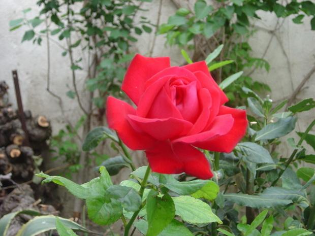 Сорт розы: Жаме вю