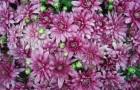 Сорт хризантемы: Журавлиная песнь