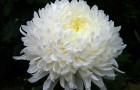 Сорт хризантемы: Загир исмагилов