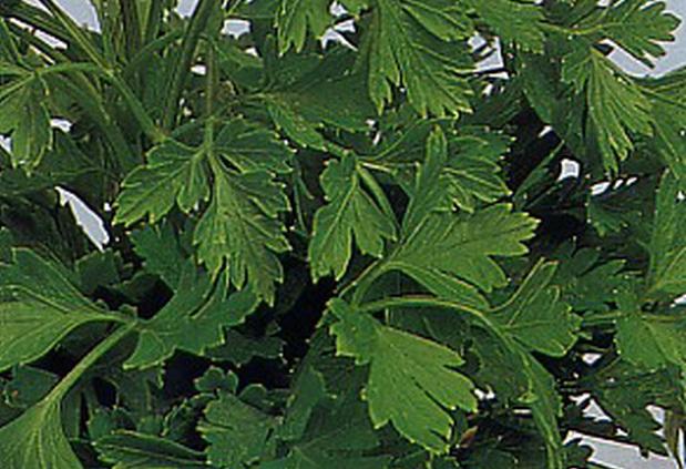 Сорт петрушки: Зеленый хрусталь