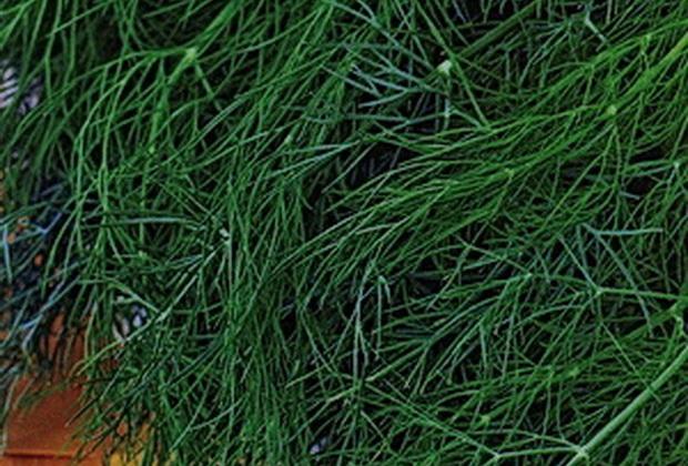 Сорт укропа: Зеленый сноп