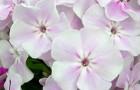 Сорт флокса метельчатого: Зимнее утро
