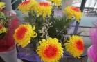 Сорт хризантемы: Золотая долина