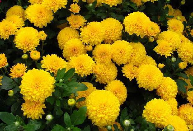 Сорт хризантемы: Золотая юрта