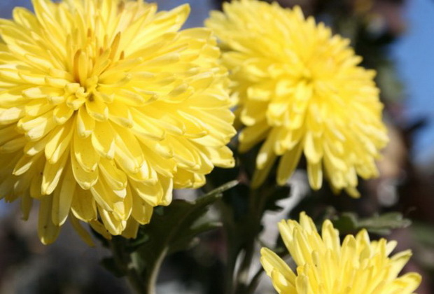 Сорт хризантемы: Золотой рой