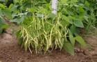 Сорт фасоли: Золушка