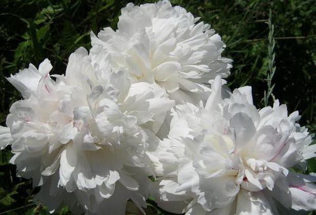Сорт пиона: Белый новосибирский