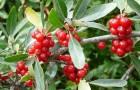 Бизоновые ягоды - новое природное лекарство