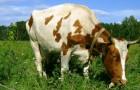 Какой травой нужно кормить коров для самого полезного молока