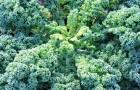 Капуста кале - натуральная виагра