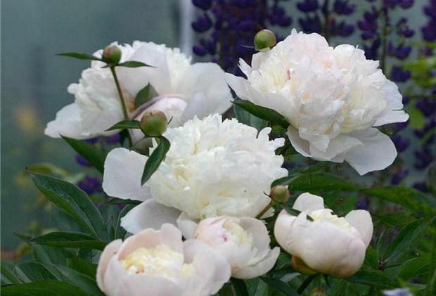 Сорт пиона: Розовая дымка