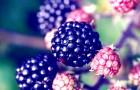 Шелковица противостоит раку, воспалениям и болезни Альцгеймера