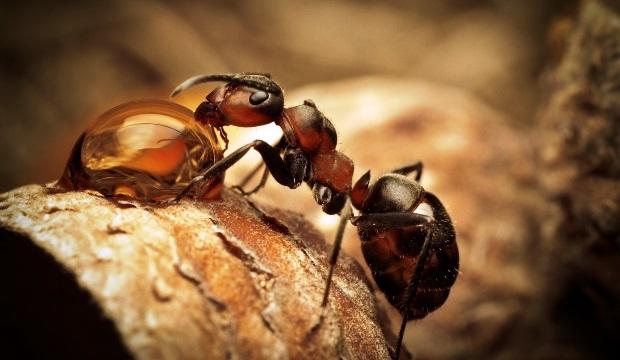 В засуху деревья «покупают» у муравьев защиту