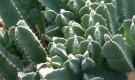 Молочай, кустарниковые виды