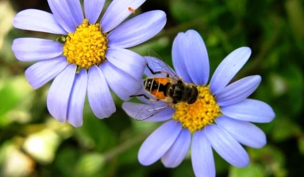Цветы «подстраивают» свой цвет под пчел и климат