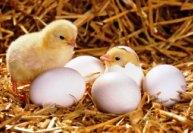 Выращивание домашней птицы
