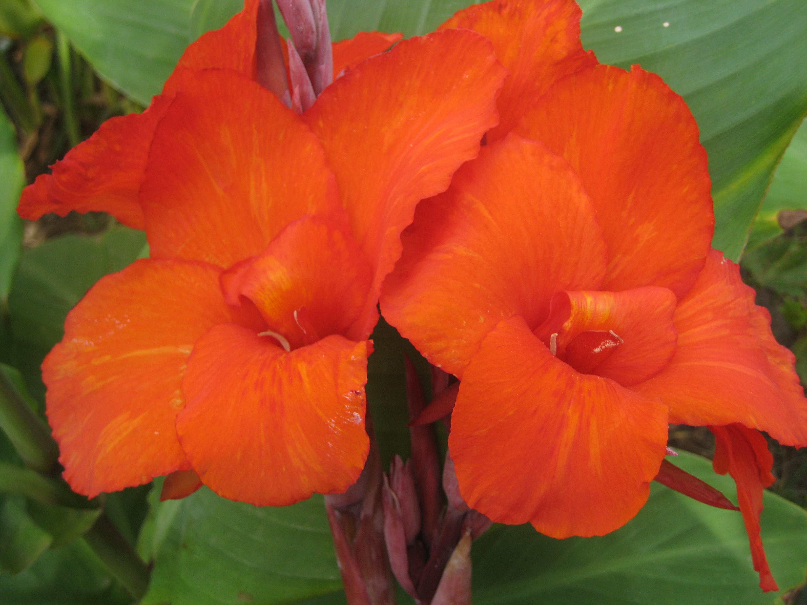 Цветы канны: фото сортов и видов