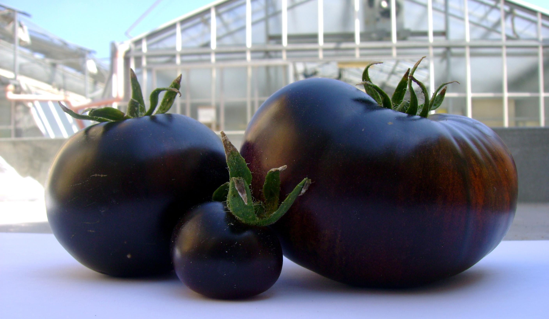 Фиолетовые помидоры – теперь ещё полезнее!